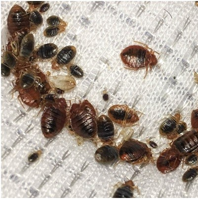 Image of bed with Bed bugs - control and removal in Medway