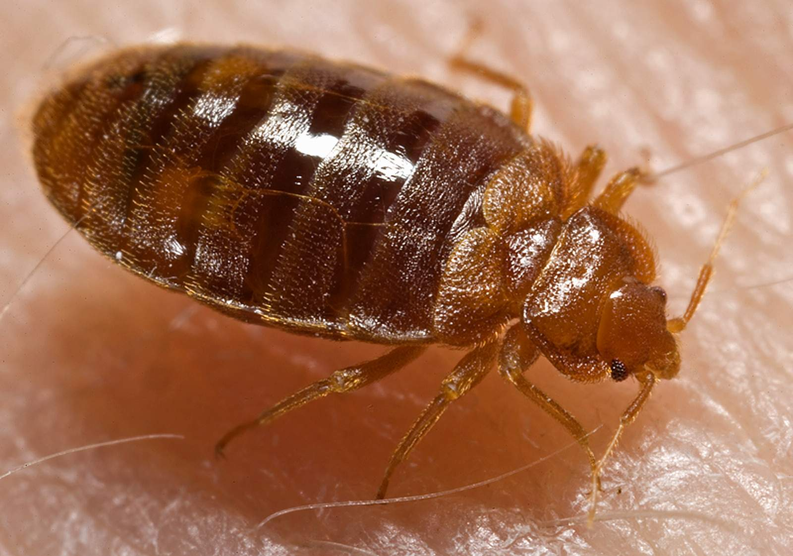 bedbugs removal in Gillingham, Rainham, Maidstone, Rochester, Strood and Chatham