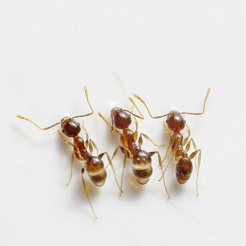ant pest control services in Medway