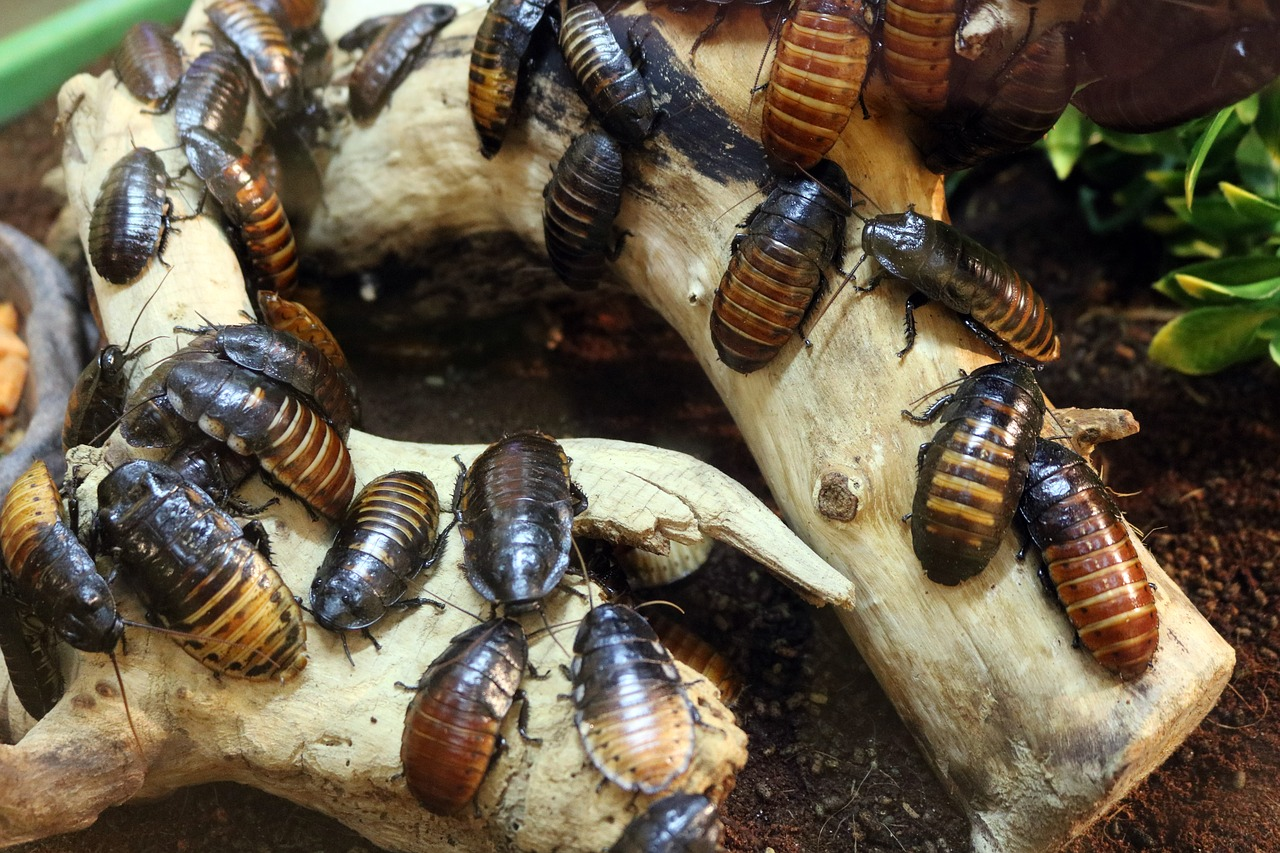 cockroach pest control in Maidstone, Gillingham, Chatham, Rochester, Rainham and Strood