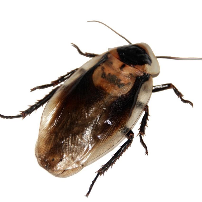 cockroach control in Gillingham