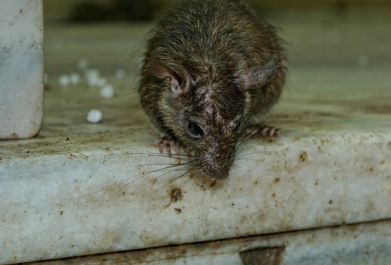 Rodent pest control in Gillingham, Rochester, Maidstone,  Rainham, Chatham and Strood