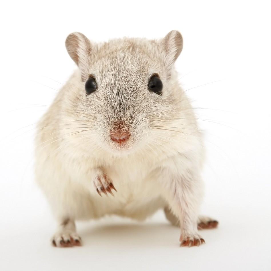 Mice pest control in Gillingham