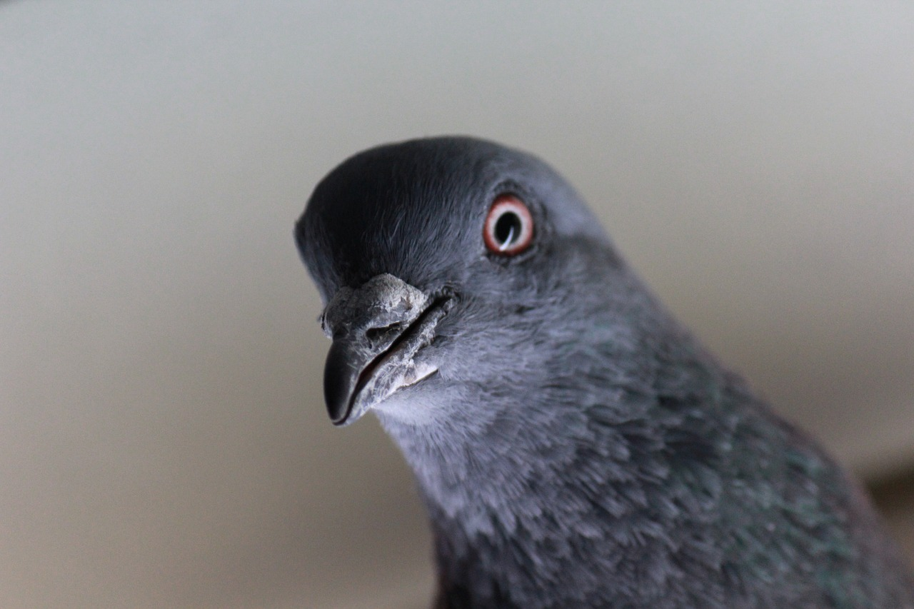 pidgeon - feral bird control in Gillingham, Maidstone, Rainham, Chatham, Rochester and Strood