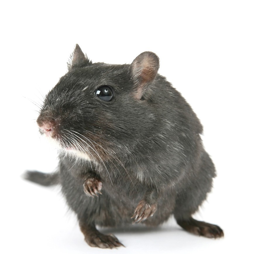 image of a rat for rat and mice pest control services in Medway