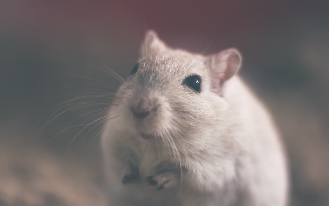 Rat and mice pest control in Gillingham, Maidstone, Rochester, Rainham, Chatham and Strood