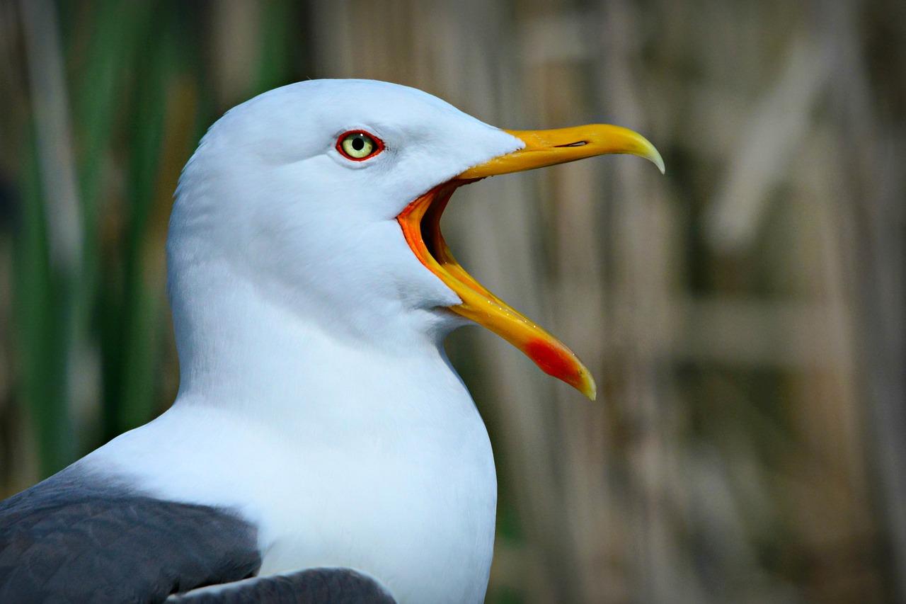 Seagull Pest Control in Gillingham, Rochester, Maidstone, Chatham, Rainham Strood