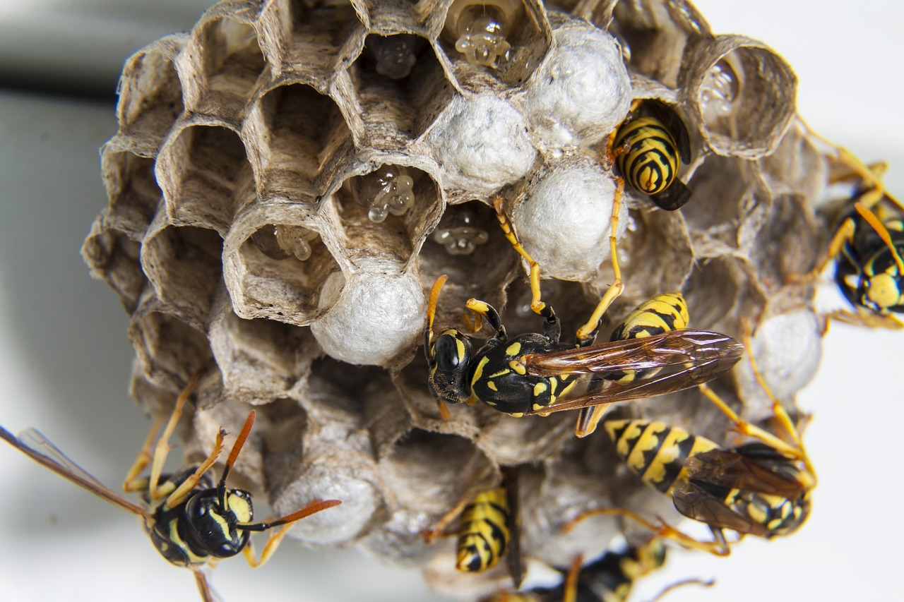 wasp nest removal in Gillingham, Strood, Maidstone, Chatham, Rochester and Rainham