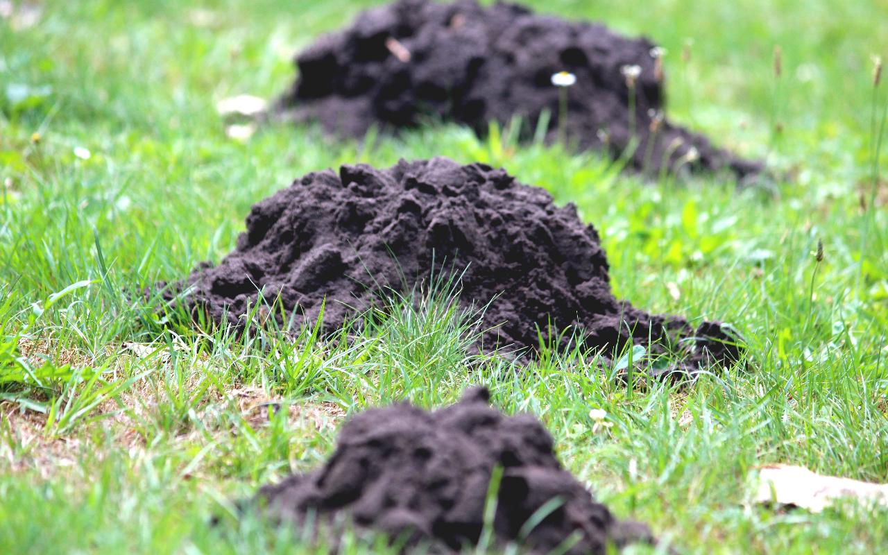 24 7 mole pest control services