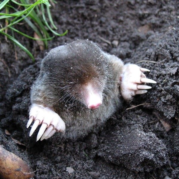 Mole Pest Control services in Medway