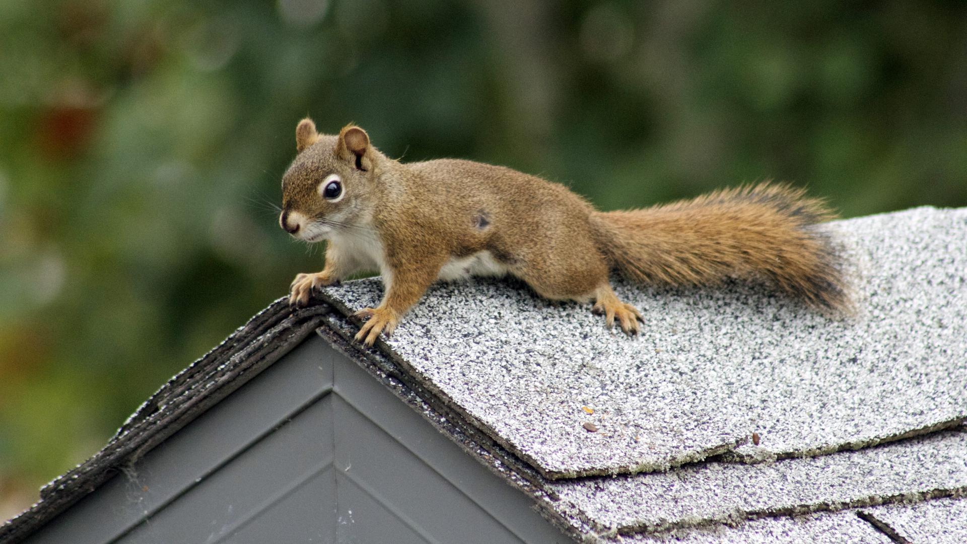 squirrel pest control services